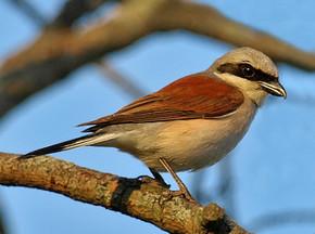 голоса птиц в музыке